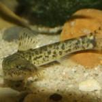 Barbatula-barbatula-3